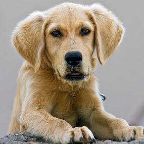 labrador Puppy by Graham Mulrooney - Animals - Dogs Portraits ( horizontal, hisaronu, puppy, republic of turkey, turkey, dog, labrador, turquoise coast,  )