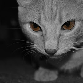 A Wonder of Mystery by Chance Cress - Animals - Cats Kittens ( kitten, cat, cat eyes, black and white, whiskers )