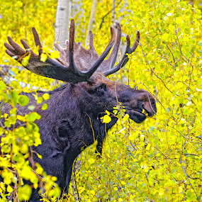 moose fall utah  by Cody Hoagland - Animals Other Mammals ( moose )