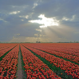 Tulips by Michel Van Kooten - Landscapes Prairies, Meadows & Fields ( bulbs, bulb field, tulips, netherlands, rays, sun rays, goeree, rows, field, zuid-holland, tulip, holland, lines, flowers, flower )
