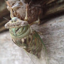 Cicada species (fresh out of the shell!)