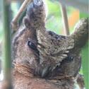 Collares Scops Owl