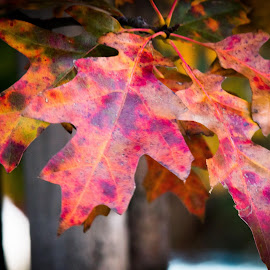Autumn Leaves by Rossy Garcia - Nature Up Close Leaves & Grasses ( orange, red, tree, purple, colors, green, fall, leaf, leaves )