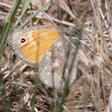 Ochre Common Ringlet