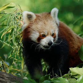red panda by Cédric Guere - Animals Other