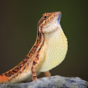 fan-throated lizard