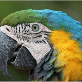 Macaw by Dirk Luus - Animals Birds ( bird, animals, nature, pet, macaw )