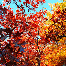 Fall From Below by Douglas Gustaf - Landscapes Forests ( sky, red, fall colors, tree, colors, fall, yellow, walk )
