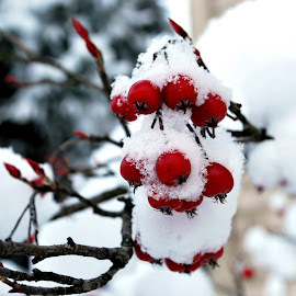 by Elena Stanescu-Bellu - Nature Up Close Trees & Bushes ( up close, red, winter, snow, white, berries )