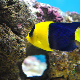 The bicolor angel by Arka Mitra - Animals Fish ( aquatic, underwater, fish, aquarium, sea, ocean, living,  )