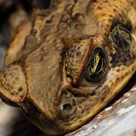 Mr Cane Toad by Esther Visser - Animals Amphibians ( toad )