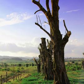 Old Olive Trees  by Katarzyna Malinowska - Nature Up Close Trees & Bushes ( olive trees maremma italy view green fresh summer )