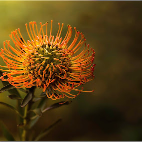 Protea by Susan Pretorius - Flowers Single Flower
