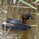 Little Grebe; Zampullín Chico