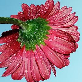 beautiful gerber by LADOCKi Elvira - Flowers Single Flower ( nature, flowers, garden )
