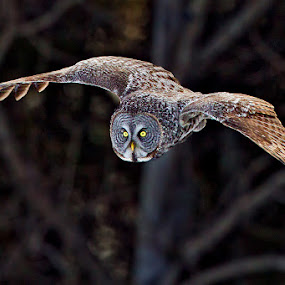 Great Gray Owl by Herb Houghton - Animals Birds ( wild, bird of prey, great gray owl, owl, herbhoughton.com, raptor, non captive )