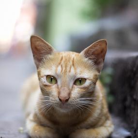 Cat by Soumyaroop  Chatterjee  - Animals - Cats Portraits ( colour, contrast, animals, cat, kolkata, lightroom, canon 550d )