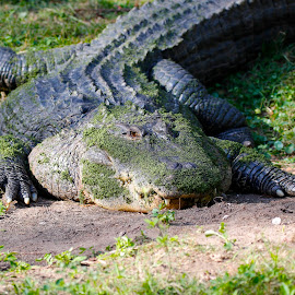 Gator Bait by Matt Padgett - Animals Reptiles