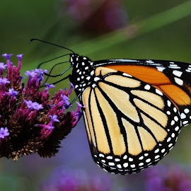 Monarch by Lori Kulik - Animals Insects & Spiders ( butterfly, monarch )