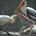 Painted Stork; Spot-billed pelican;Eurasian Spoonbill