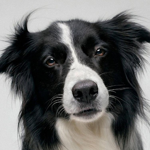 border collie dating Border collies for sale in new zealand buy and sell border collies on trade me.