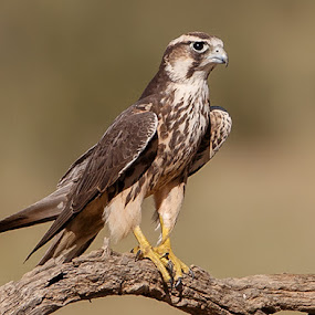 lanner falcon -Kgalagadi by Jan Fourie - Animals Birds