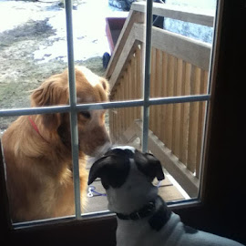 Hunter waiting patiently to go play with Max by Kim York - Animals - Dogs Playing