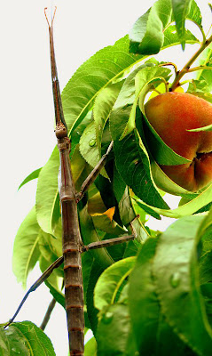 giant walking stick on peach tree