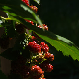 Raspberries in the sunshine by Debra Parrilli - Nature Up Close Gardens & Produce ( raspberries in the sunshine, garden,  )