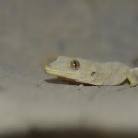 Lizard by Mubashir Nazir - Animals Reptiles