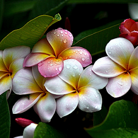 Pink Frangipani 47 by Mark Zouroudis - Flowers Flowers in the Wild
