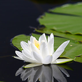 Lily reflexion by Pablo Barilari - Flowers Flowers in the Wild ( lily, lily on water, white lily, reflexion )