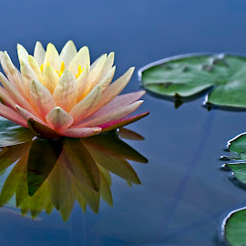 Reflection of a Lily by Rod Schrader - Flowers Single Flower