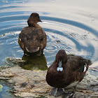 Hardhead Ducks (male and female)