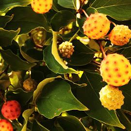 Fruit Berries by Joey Booth - Food & Drink Fruits & Vegetables ( fruit, tree, prickly, green, leaf, berries )
