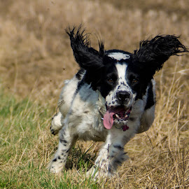 The Ears have it. by Sue Lascelles - Animals - Dogs Running ( playing, spaniel, ears, dog, running )