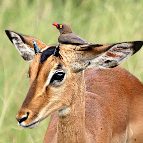 Head Seat by Pieter J de Villiers - Animals Other ( bird, mammals, animals, resting, kruger national park, impala, seat, red-billed ox-pecker, south-africa )