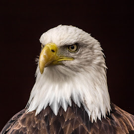 Sam1 by Garry Chisholm - Animals Birds ( bird, garry chisholm, eagle, nature, wildlife, prey, raptor )