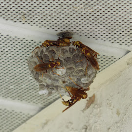 Wasps by Dawn Katzmann - Nature Up Close Hives & Nests