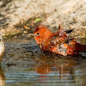 Summer Bath by Sandy Hurwitz - Animals Birds ( september. 2014, tanager, 2014, first canyon blind, summer, 8 )