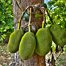 JACKFRUIT by Sivakumar Inc - Nature Up Close Gardens & Produce
