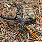 Giant Whip Scorpion