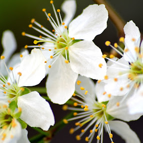 spring petals by Viorel Vaida - Flowers Tree Blossoms ( colorful, wallpaper, beautiful, white, bloom, blur, plum tree, sunlight, bokeh, spring, rays, background, flowers, petal )