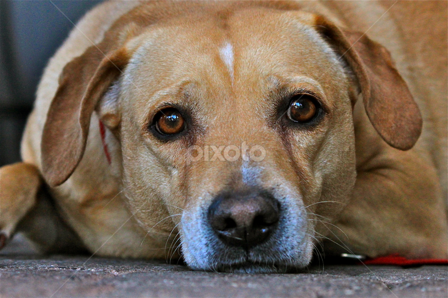 Bart by David Herholz - Animals - Dogs Portraits ( beagle, yellow, lab, portrait, dog )