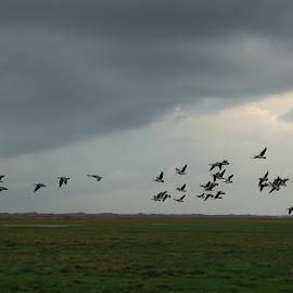 Gæs over værneengene. by Ove Andersen - Landscapes Prairies, Meadows & Fields