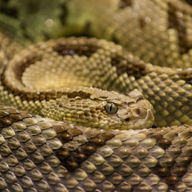 Rattlesnake by Brandon Satinsky - Animals Reptiles ( snake, rattler, nature, rattlesnake, reptile, animal )