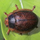Gumnut leaf beetle