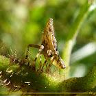Fulgorid Planthopper nimph