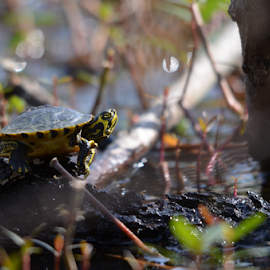 Sunbathing by Alan Hammond - Animals Amphibians ( animals, nature, turtles, amphibians, sunbathing )