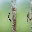 Parasitoid wasp - Depositing eggs